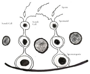 Sertoli Cell nursing developing sperm